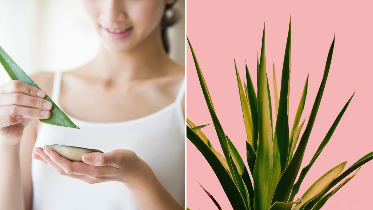 Aloe Vera in place of a Moisturizer. Why You Should Discover its Precious Benefits Immediately?